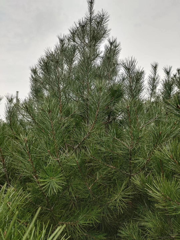 蓝田2米白皮松树