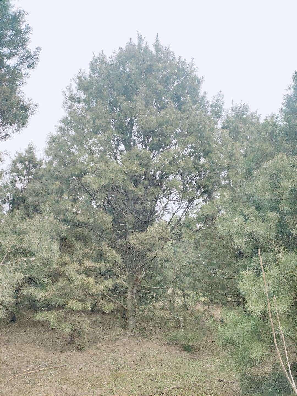 2米白皮松苗圃施肥浇水管理方法