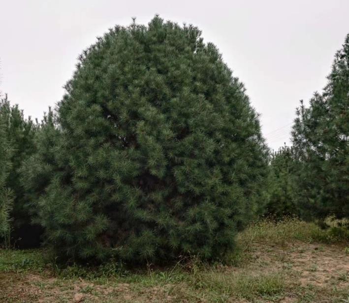 绿化4米白皮松
