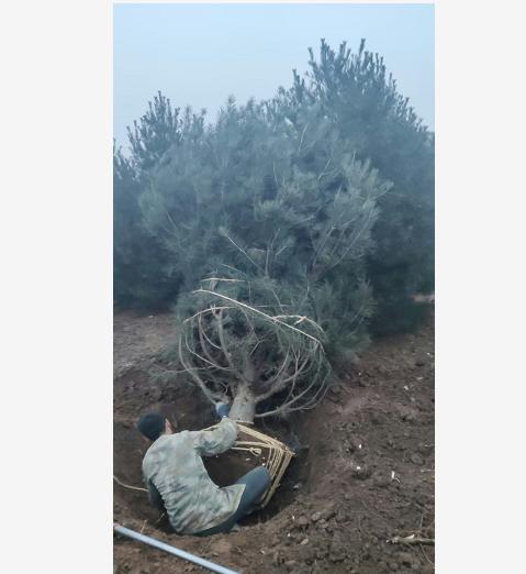 陕西钰尚苗木基地介绍:2米白皮松苗圃施肥浇水管理方法
