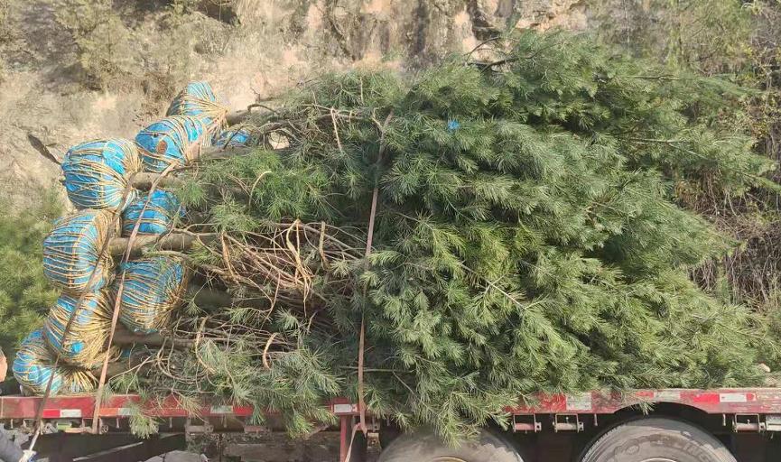 5米白皮松苗木常用的分級標準