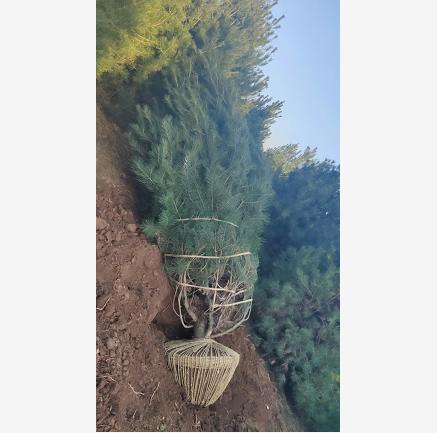 4米白皮松树苗市场价格为什么要高?