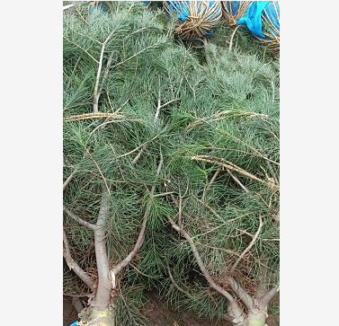 1米白皮松的树龄是多少?质量有差异吗?