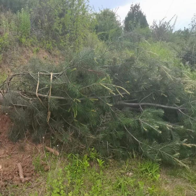 陕西钰尚苗木种植基:了解2米白皮松价格的方法