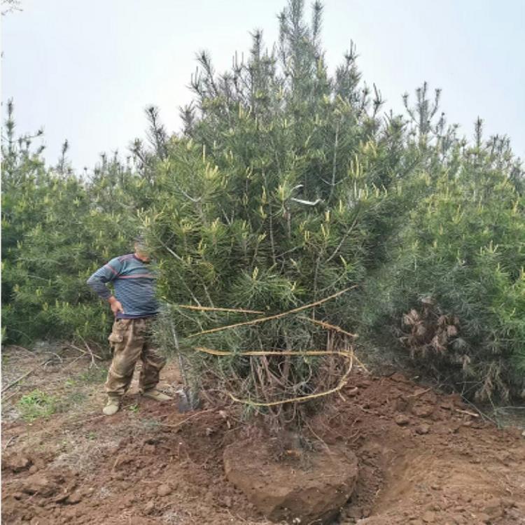 夏季对白皮松的运输和种植管理