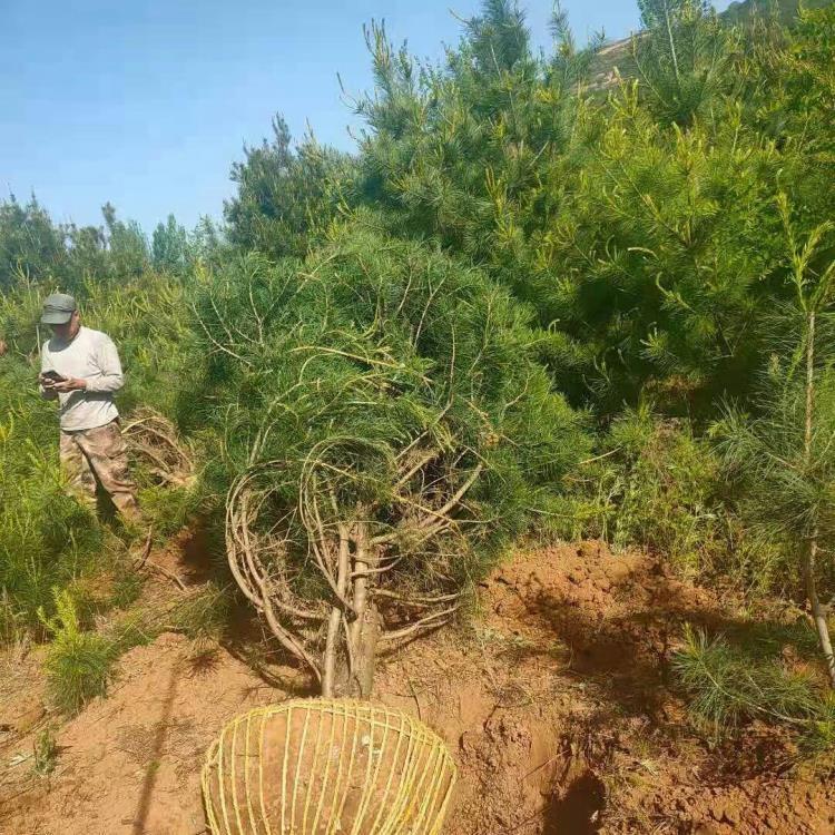 蓝田白皮松种植期间怎样提高发芽率?