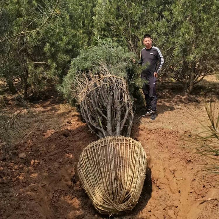 藍田白皮松苗木灌溉時的注意事項