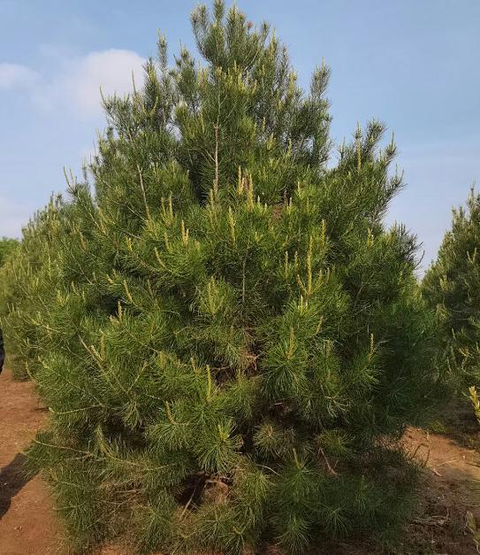 蓝田白皮松苗木种植养护方法