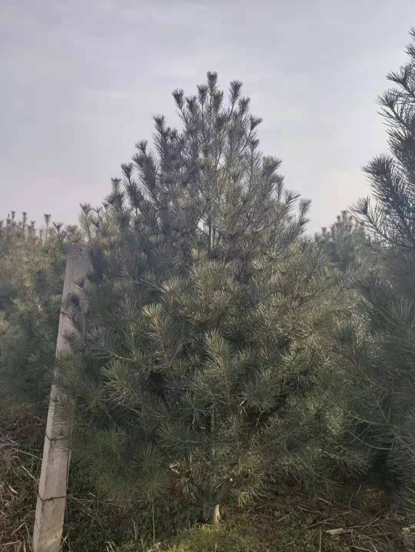 3米白皮松栽培密度应该怎样来把控?