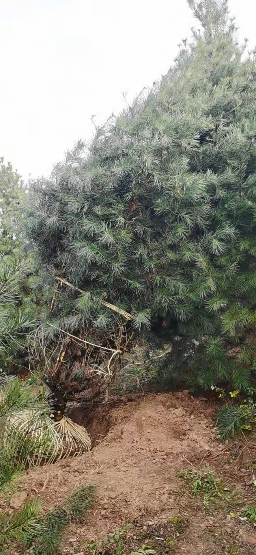 藍田3米白皮松栽培密度應該合理把控