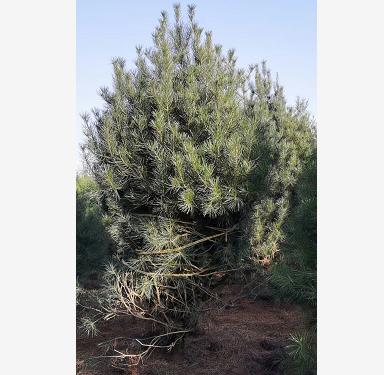 低龄的白皮松树苗容易种植吗?
