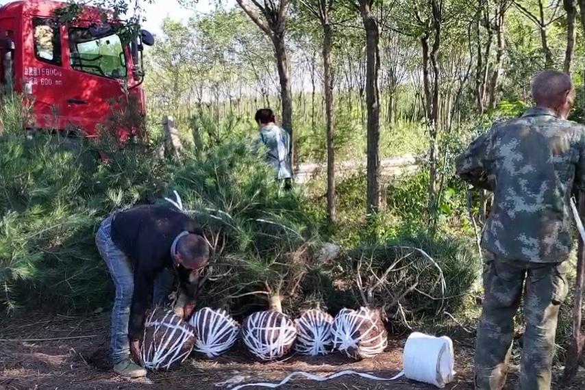 陕西钰尚苗木基地分享:蓝田白皮松的幼苗播种和繁殖的方法