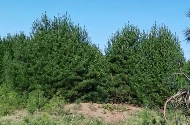 陕西钰尚苗木基地介绍:低龄的白皮松树苗是否容易种植