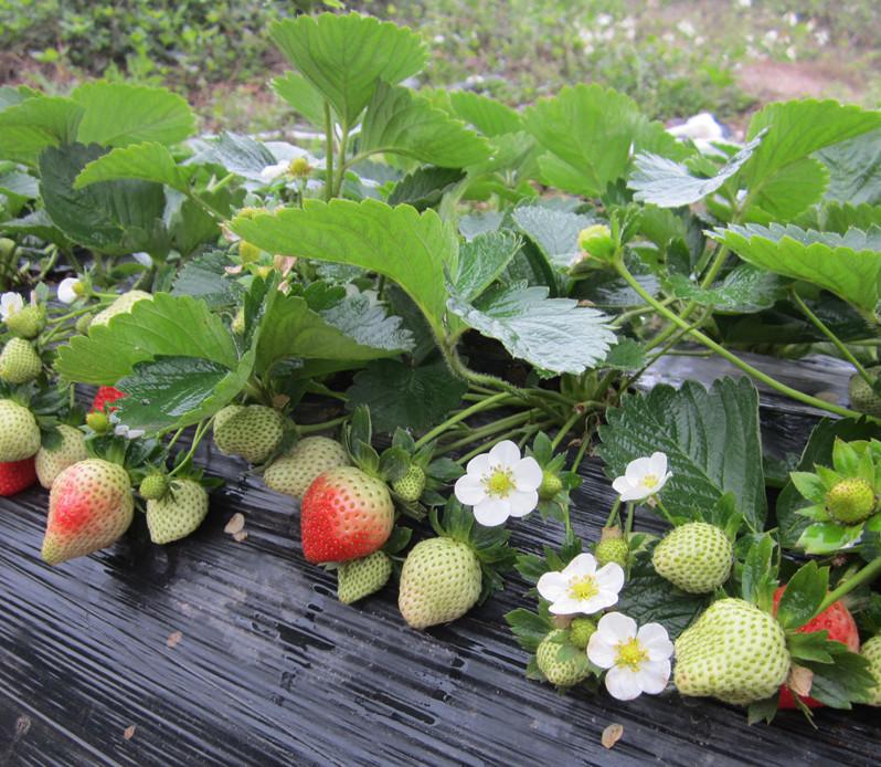 [草莓苗]草莓苗移栽前准备工…