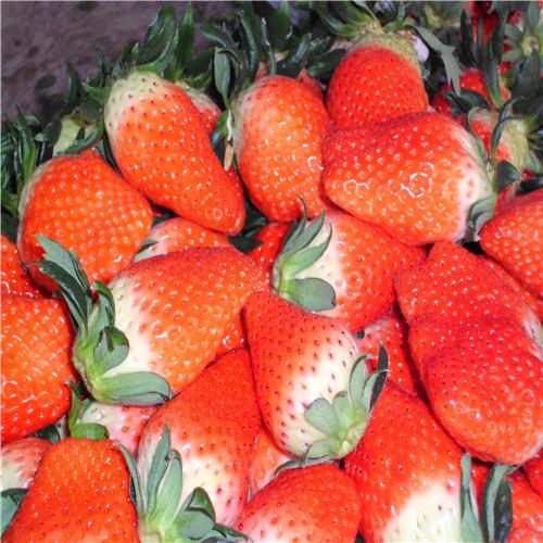 草莓苗走茎从哪里剪断|四季草莓苗解析