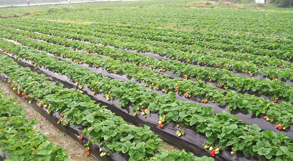 [草莓苗]今年的草莓苗情了解…
