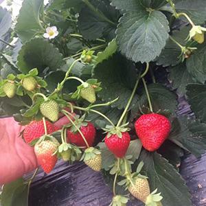 22地上调最低工资,草莓苗批发厂家会作何感想?