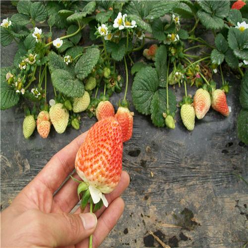 [草莓苗]丹东草莓苗价格贵在…