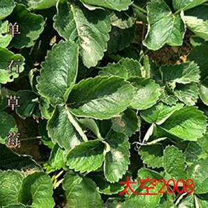 太空2008草莓苗