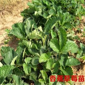 香蕉草莓苗
