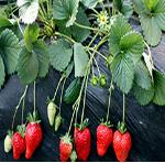 辽宁草莓苗