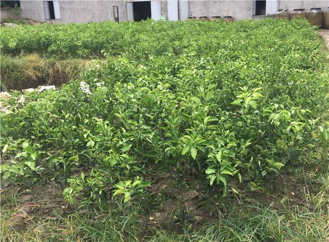贵州明日见柑橘苗-MRJ01