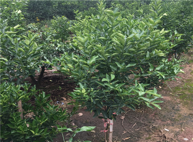 媛红椪柑苗基地