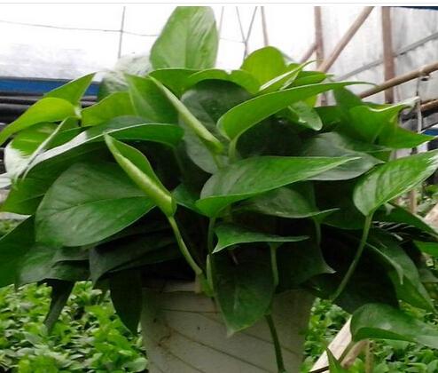 成都室内植物租摆租赁细说绿萝是非常优良的室内装饰