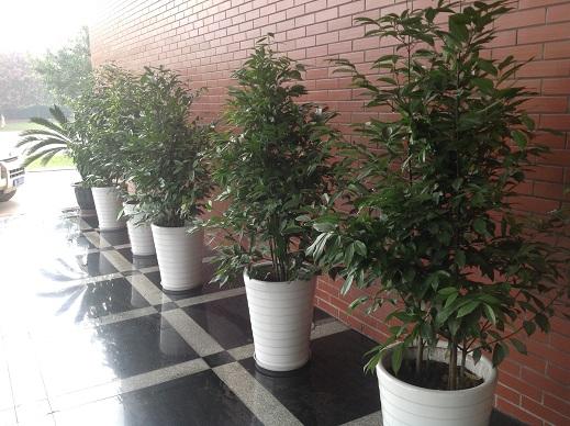 成都植物租赁对绿植盆花的摆设一方面应该服从居室环境的和谐统一