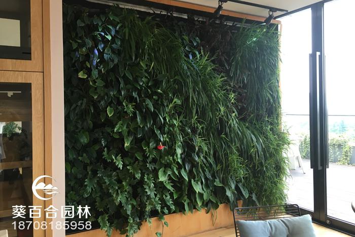 """这绿植爱""""爬墙"""",叶片样子像枫叶,大家喜欢做植物墙"""