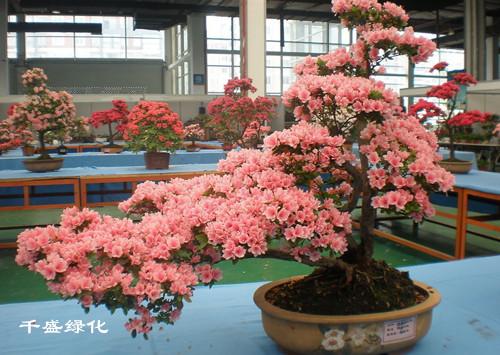 成都室内植物租赁—成都室内植物租赁|成都花卉苗木生产|成都会议植物