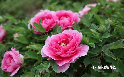 中国十大名花介绍 成都园林景观设计 成都花木出租 成都盆景花草租赁
