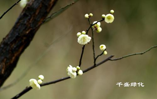 将玉米爆米花蘸一些浆糊后粘在枯树枝上,浆糊好似梅花花萼.