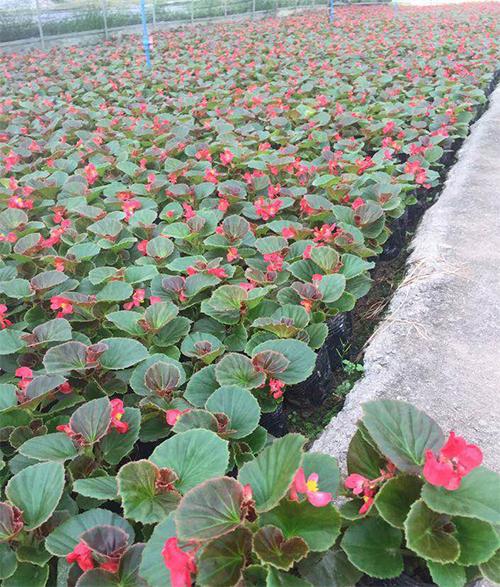 重庆海棠绿叶红花