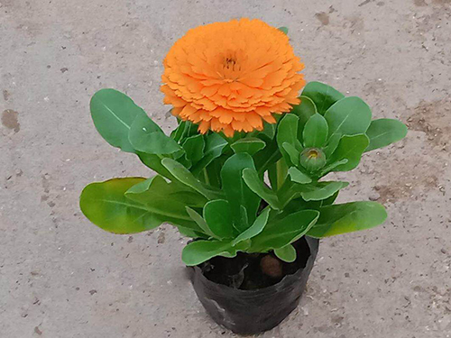 重庆金盏菊