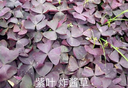 紫叶炸酱草