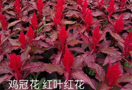 红叶红花鸡冠花