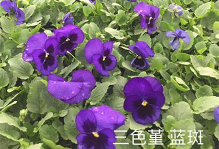 蓝斑三色堇