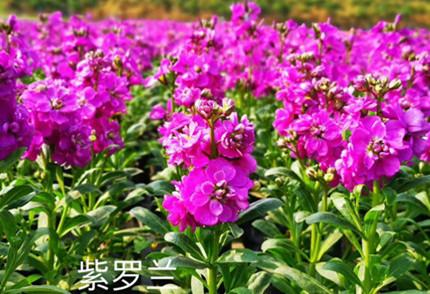 紫罗兰种子