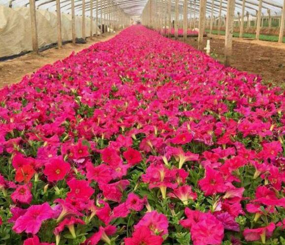 会影响草花的移栽成活率的因素有哪些