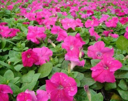 草花种植怎样利用播种期调控花期