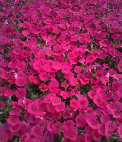 冬季种植草花的注意事项有哪些