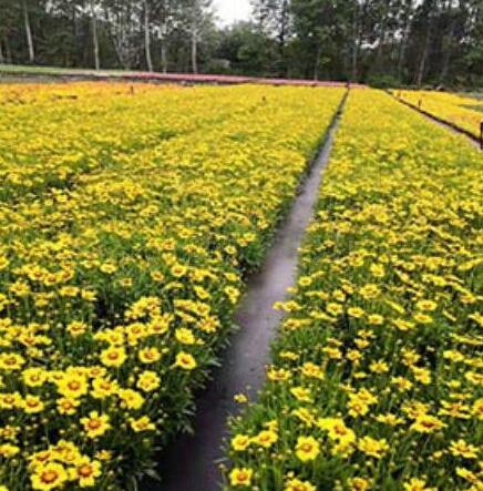 景观花卉栽培要注意什么