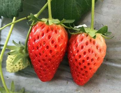 安娜草莓采摘