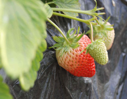 红颜草莓采摘