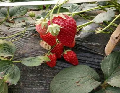 美香莎草莓采摘