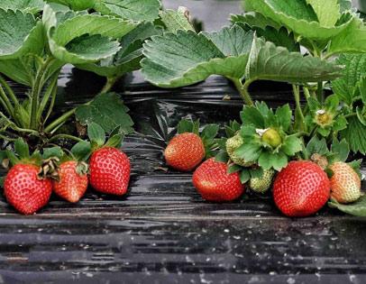 章姬草莓采摘