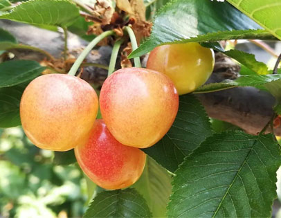 黄蜜樱桃采摘