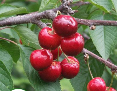 早红宝石樱桃采摘