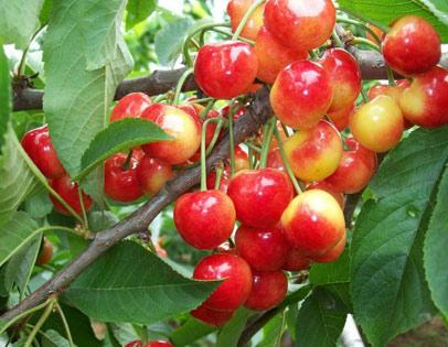 红灯樱桃采摘